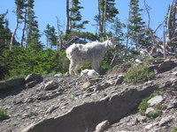 Mountain Goats at Logan's Pass