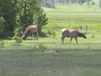 Elk Sighting